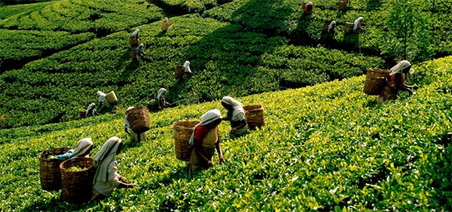 rize turecký čaj