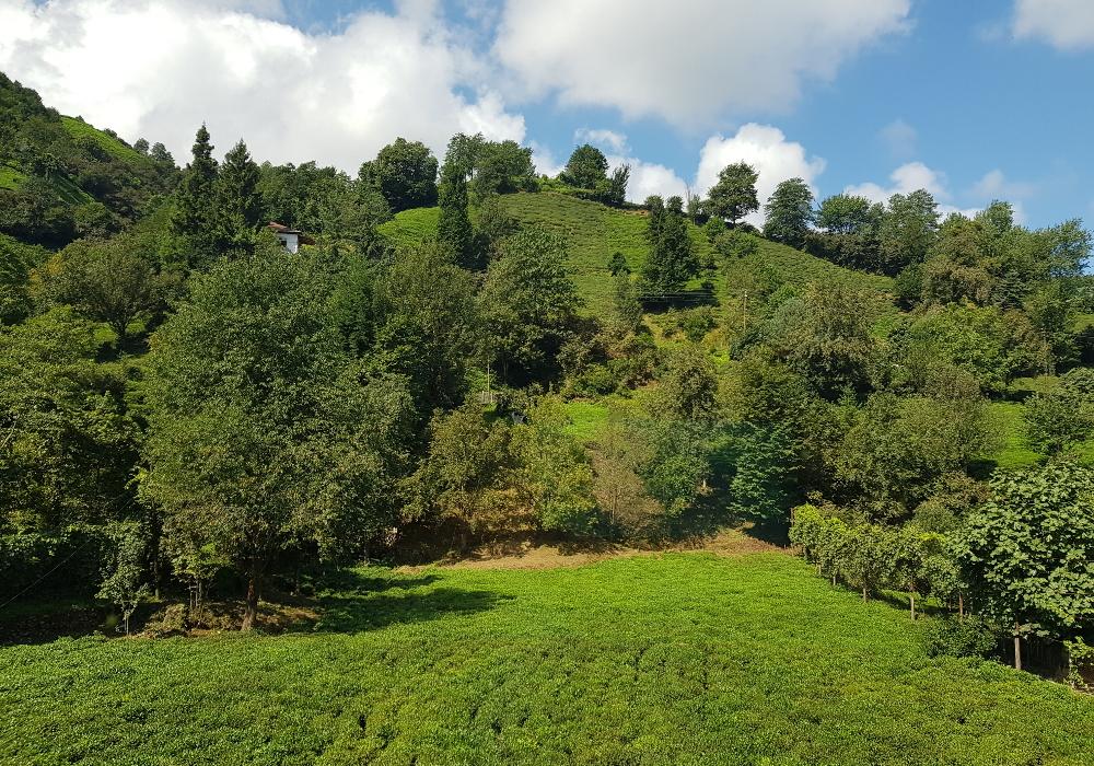 černomořský kopec čaj plantáž