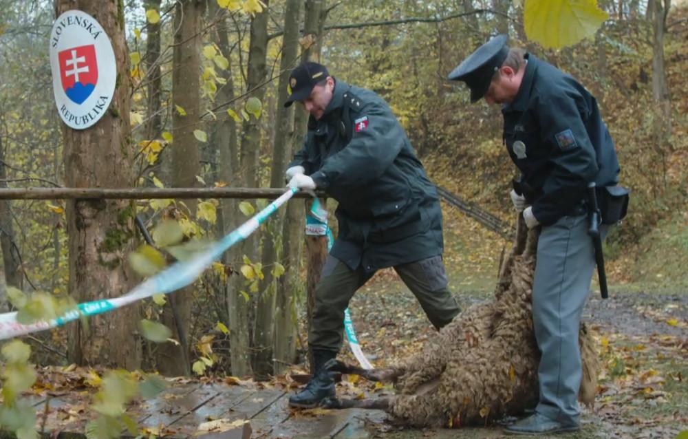 sebevražda ovcí v Turecku